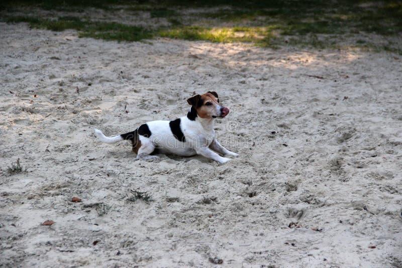 Η πλάγια όψη σε πολυ που χρωματίζεται σε ένα τεριέ του Russell γρύλων που βρίσκεται στην άμμο που κοιτάζει ανωτέρω μέσα emsland η στοκ εικόνες με δικαίωμα ελεύθερης χρήσης