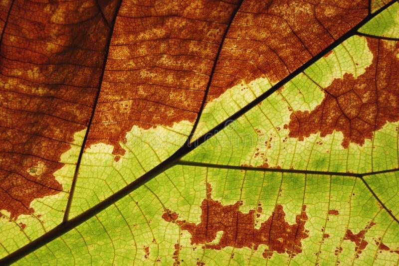 Η πλούσια μισή πράσινη μισή καφετιά σύσταση φύλλων βλέπει μέσω της δομής φλεβών συμμετρίας, φυσική έννοια σύστασης στοκ εικόνες