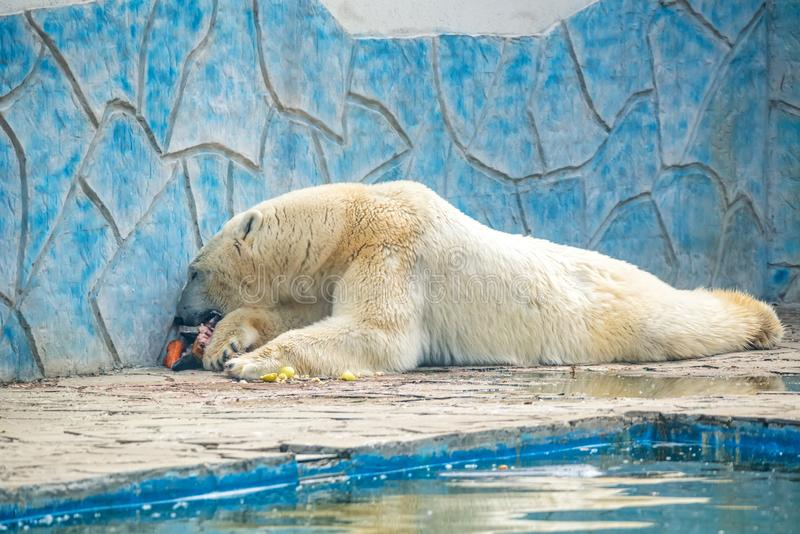 Η πολική αρκούδα ή το maritimus Ursus στην αιχμαλωσία τρώει το κρέας δίπλα στη λίμνη στοκ εικόνα
