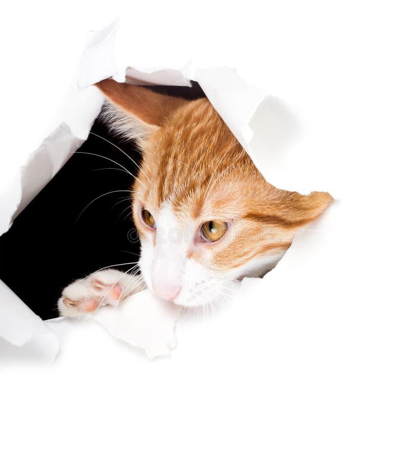 Η πονηρή γάτα κοιτάζει μέσω μιας άκρης τρυπών και μασήματος του εγγράφου στοκ φωτογραφία με δικαίωμα ελεύθερης χρήσης