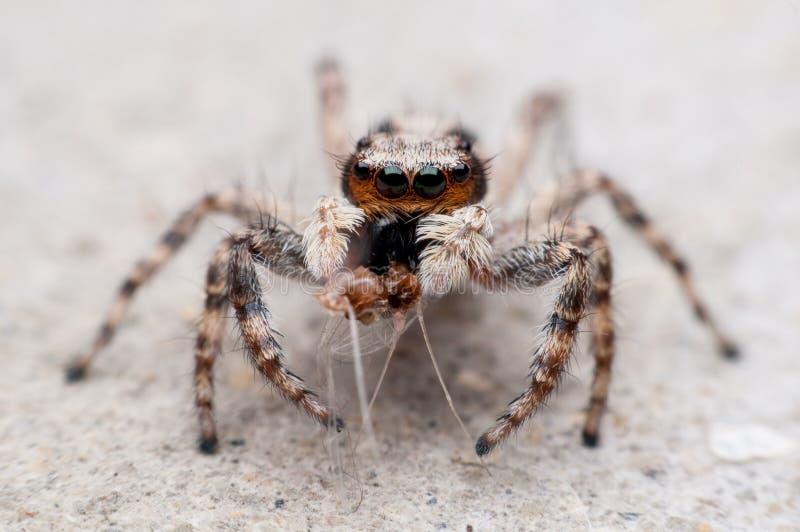 Η πορτοκαλιά επικεφαλής αράχνη άλματος στοκ φωτογραφία