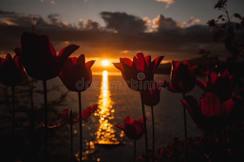 Η πορτοκαλιά τουλίπα ανθίζει την άνθιση σε έναν λόφο αγνοώντας τον ήλιο θέτοντας πέρα από τη λίμνη στοκ εικόνες