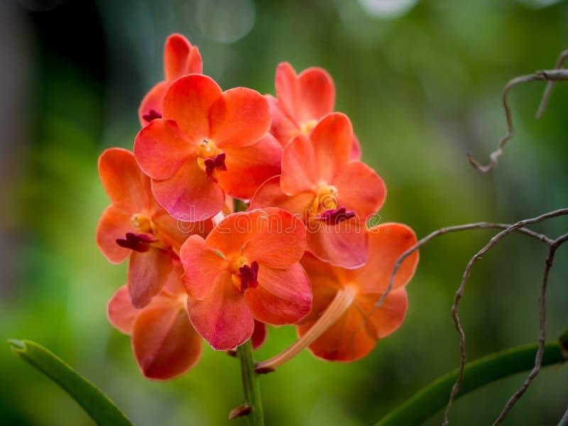 Η πορτοκαλιά Vanda στοκ εικόνα