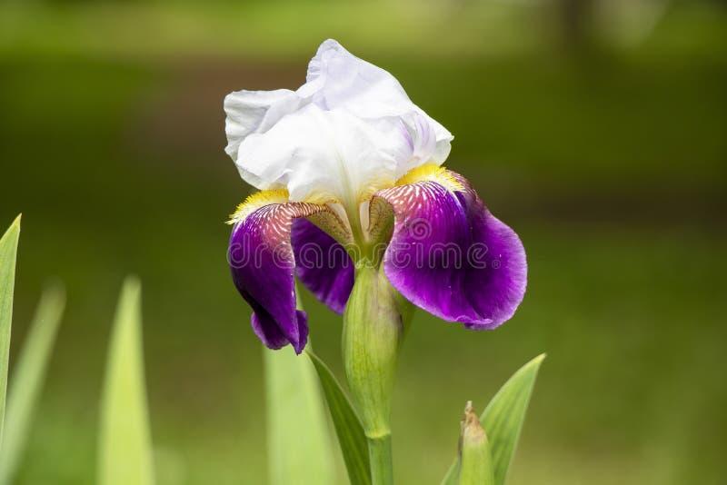 Η πορφυρή και άσπρη Iris στο πάρκο στοκ εικόνα με δικαίωμα ελεύθερης χρήσης