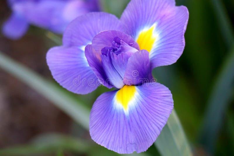 Η πορφυρή και κίτρινη Iris με το πράσινο υπόβαθρο στοκ εικόνες με δικαίωμα ελεύθερης χρήσης