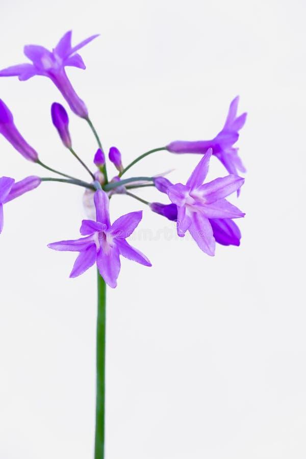 Η πορφυρή Allium κινηματογράφηση σε πρώτο πλάνο στοκ εικόνες