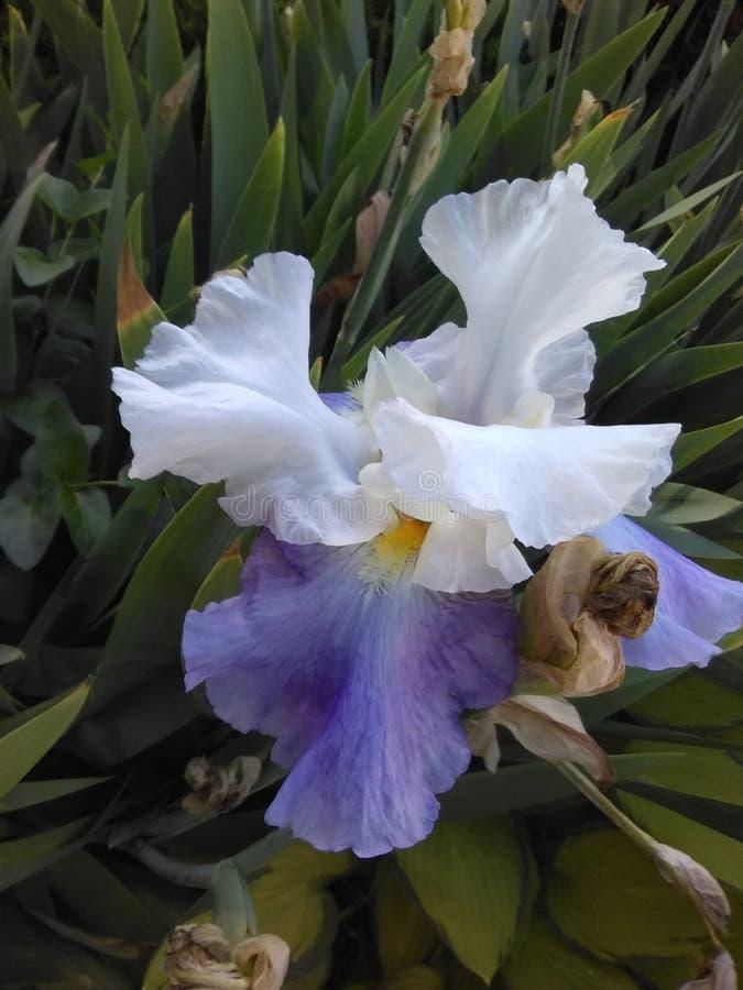 Η πορφυρή Iris που ανοίγει αυτό είναι πεντάλια στον ήλιο στοκ εικόνες