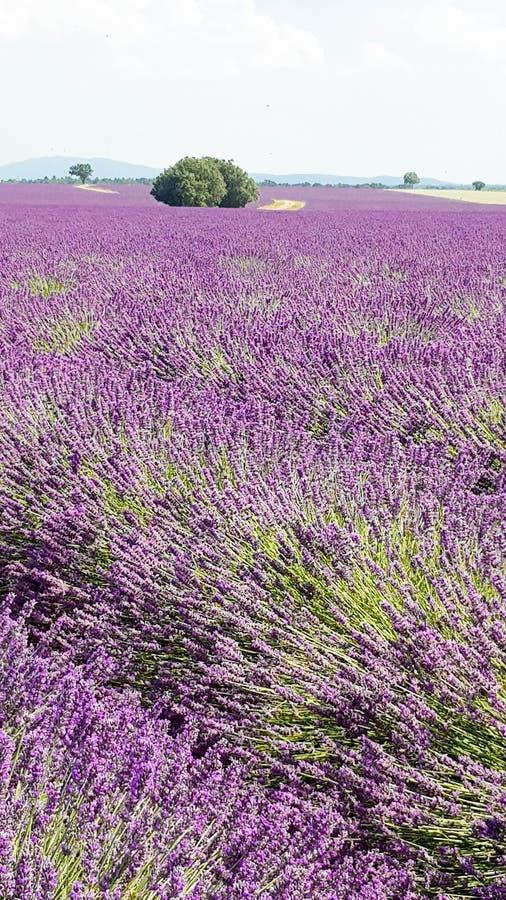 Η πορφυρή lavender ερείκη ανθίζει τους τομείς στοκ εικόνες