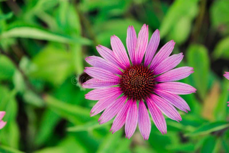 Η πορφύρα λουλουδιών Echinacea, λουλούδι κινηματογραφήσεων σε πρώτο πλάνο άνθισε στον κήπο στοκ φωτογραφία