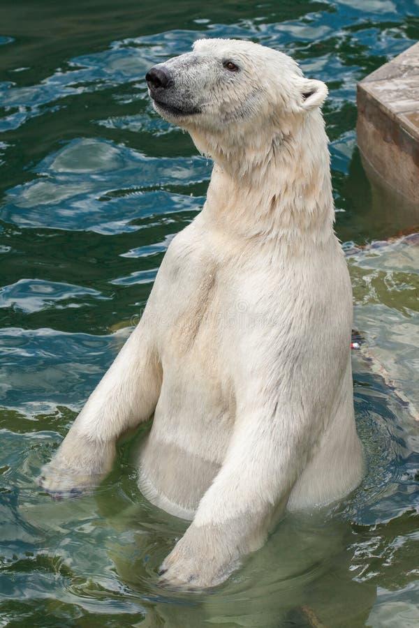 Η πολική αρκούδα κολυμπά στοκ φωτογραφία