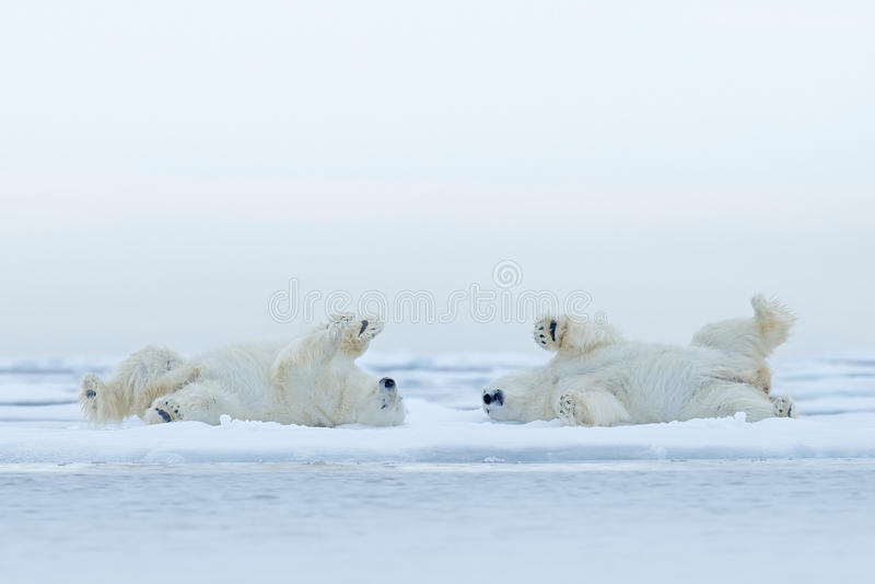 Η πολική αρκούδα δύο που βρίσκεται χαλαρώνει στον πάγο κλίσης με το χιόνι, άσπρα ζώα στο βιότοπο φύσης, Καναδάς στοκ φωτογραφίες