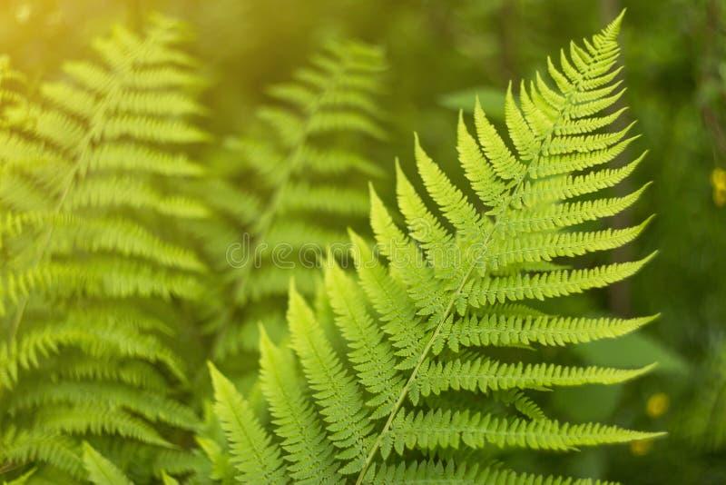 Η πράσινη και κίτρινη περίληψη θόλωσε το υπόβαθρο με τα φύλλα φυτών φτερών και bokeh στον ήλιο στοκ φωτογραφία με δικαίωμα ελεύθερης χρήσης