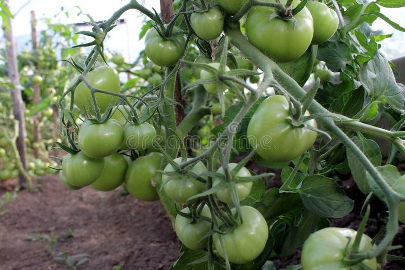 Η πράσινη ντομάτα αυξάνεται σε έναν θάμνο σε ένα θερμοκήπιο στοκ εικόνα με δικαίωμα ελεύθερης χρήσης