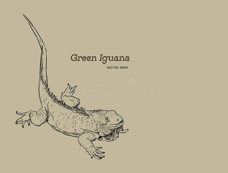 Η πράσινη σαύρα iguana, χέρι σύρει το διάνυσμα σκίτσων ελεύθερη απεικόνιση δικαιώματος