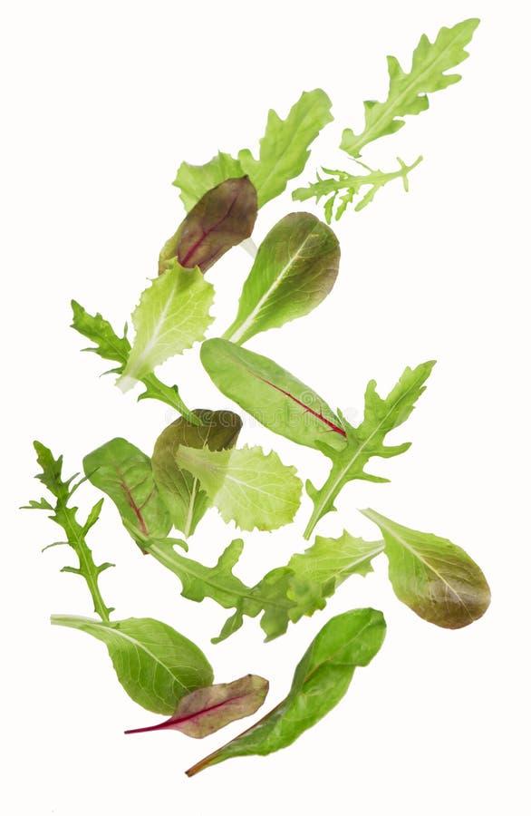Η πράσινη σαλάτα μαρουλιού βγάζει φύλλα στοκ εικόνα με δικαίωμα ελεύθερης χρήσης