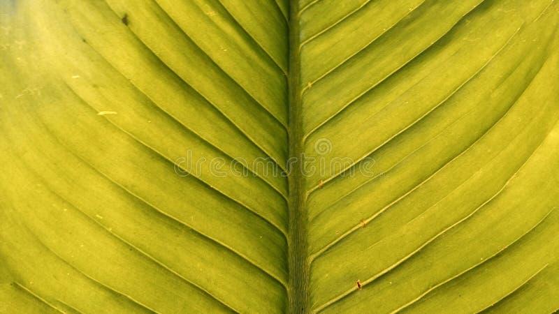 Η πράσινη σύσταση φύλλων στοκ φωτογραφίες με δικαίωμα ελεύθερης χρήσης