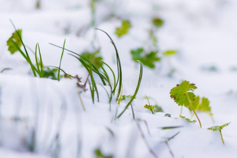 Η πράσινη χλόη καλύπτεται με το χιόνι πρώτο χιόνι Την άνοιξη νεαροί βλαστοί χλόης μέσω του snow_ στοκ εικόνα με δικαίωμα ελεύθερης χρήσης