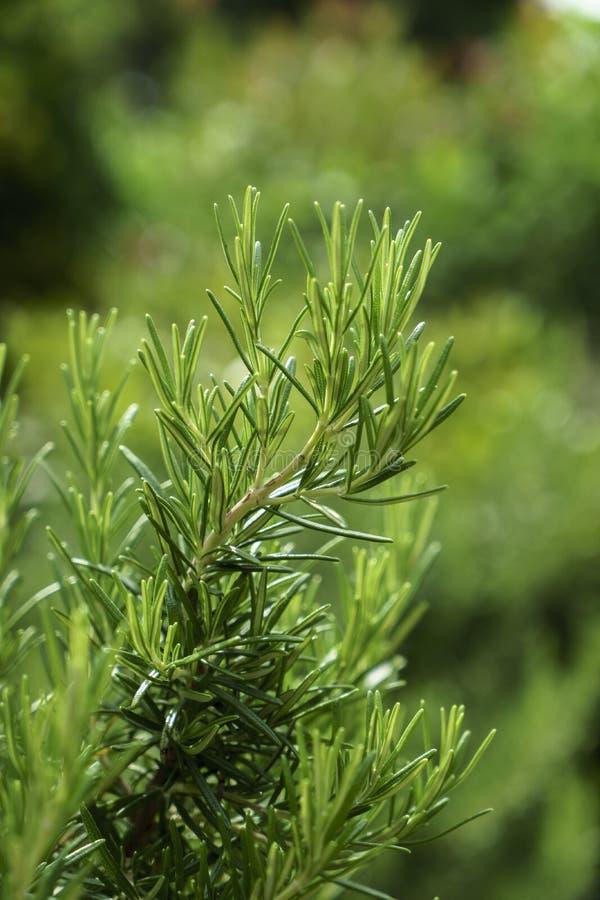 Η πράσινη Rosemary στο πράσινο μουτζουρωμένο υπόβαθρο στοκ εικόνες