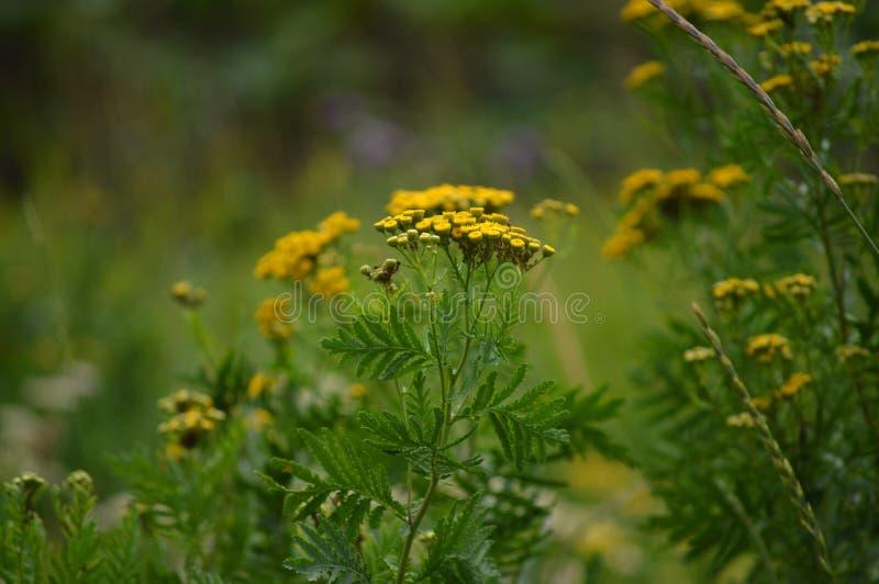 Η πραγματική ομορφιά της φύσης Μικρά κίτρινα λουλούδια του tansy στοκ φωτογραφίες