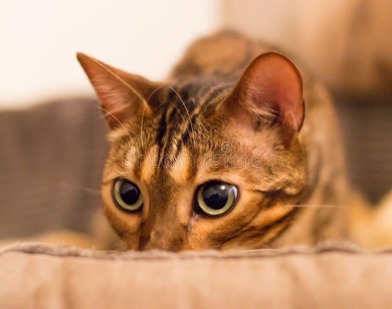 Η προσεκτική γάτα κοιτάζει επίμονα στοκ φωτογραφίες με δικαίωμα ελεύθερης χρήσης