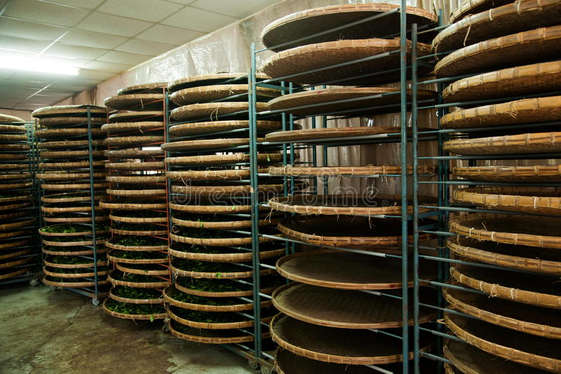 Η πόλη Chiayi της Ταϊβάν, μακρύ έδαφος Misato των βιομηχανικών εργατών ενός τσαγιού κρεμά το τσάι Oolong (πρώτη διαδικασία τσαγιο στοκ εικόνες