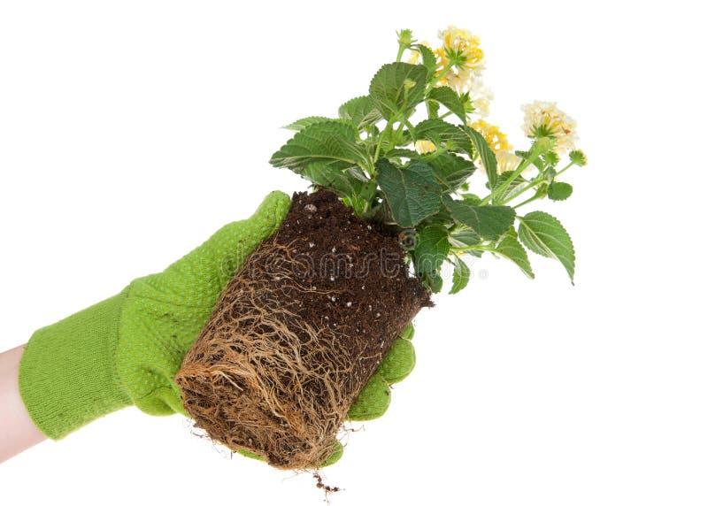 Η ρίζα εκμετάλλευσης χεριών δέσμευσε το σε δοχείο λουλούδι που απομονώθηκε στοκ φωτογραφία με δικαίωμα ελεύθερης χρήσης