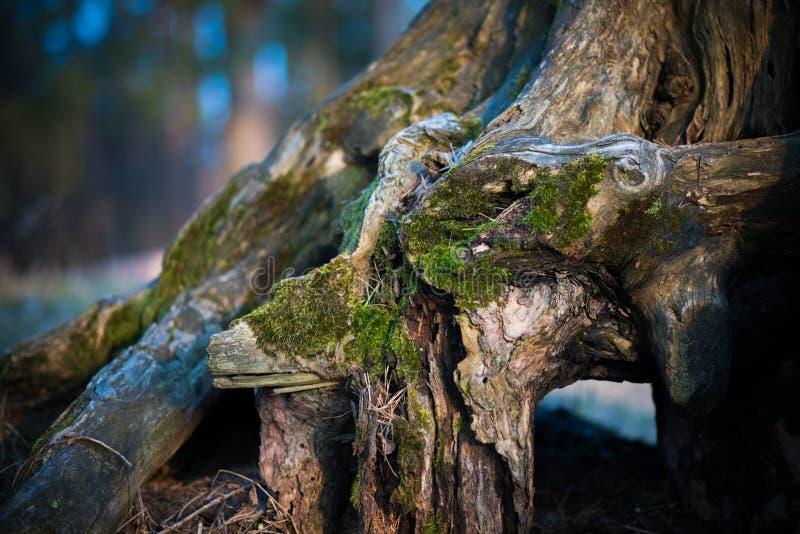 Η ρίζα του δέντρου καλύπτεται με το βρύο στοκ εικόνα