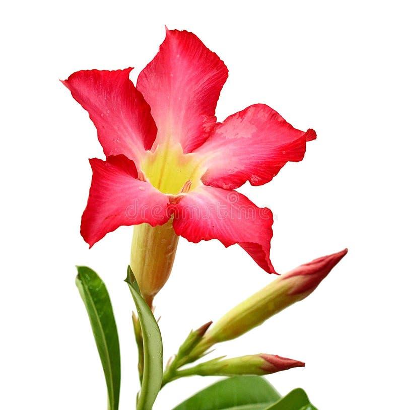 Η ρόδινη έρημος αυξήθηκε λουλούδι Adenium, αζαλέα που απομονώθηκε στο άσπρο υπόβαθρο, πορεία στοκ φωτογραφία με δικαίωμα ελεύθερης χρήσης