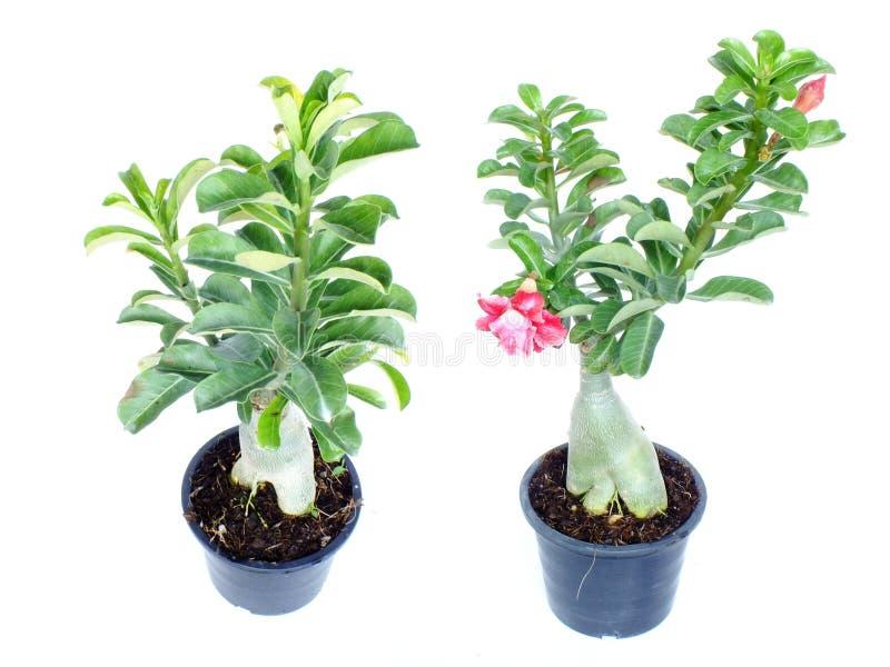 Η ρόδινη έρημος adenium λουλουδιών αυξήθηκε στο απομονωμένο άσπρο υπόβαθρο στοκ εικόνες