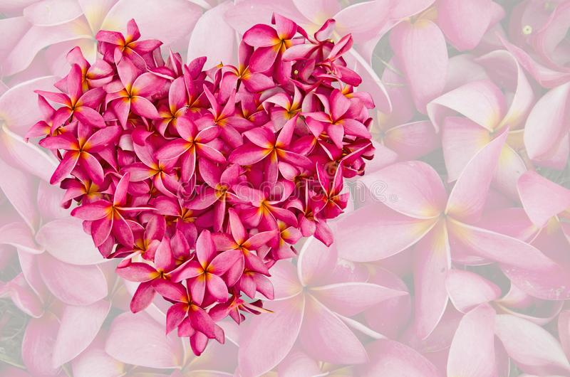 Η ρόδινη καρδιά plumeria εξασθενίζει επάνω το υπόβαθρο λουλουδιών έξω στοκ εικόνα με δικαίωμα ελεύθερης χρήσης
