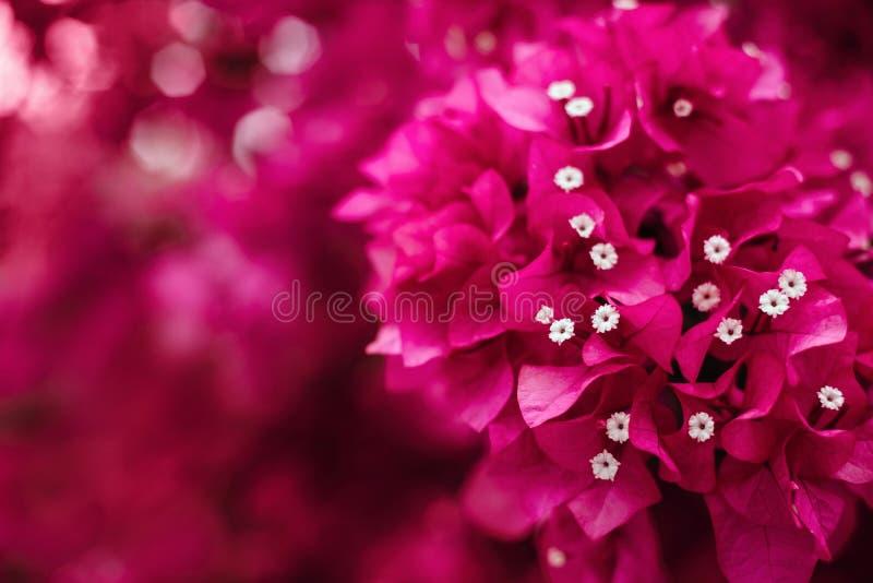 Η ρόδινη rhododendron αζαλεών λουλουδιών ομάδα φωτεινή τα λουλούδια στοκ φωτογραφίες με δικαίωμα ελεύθερης χρήσης