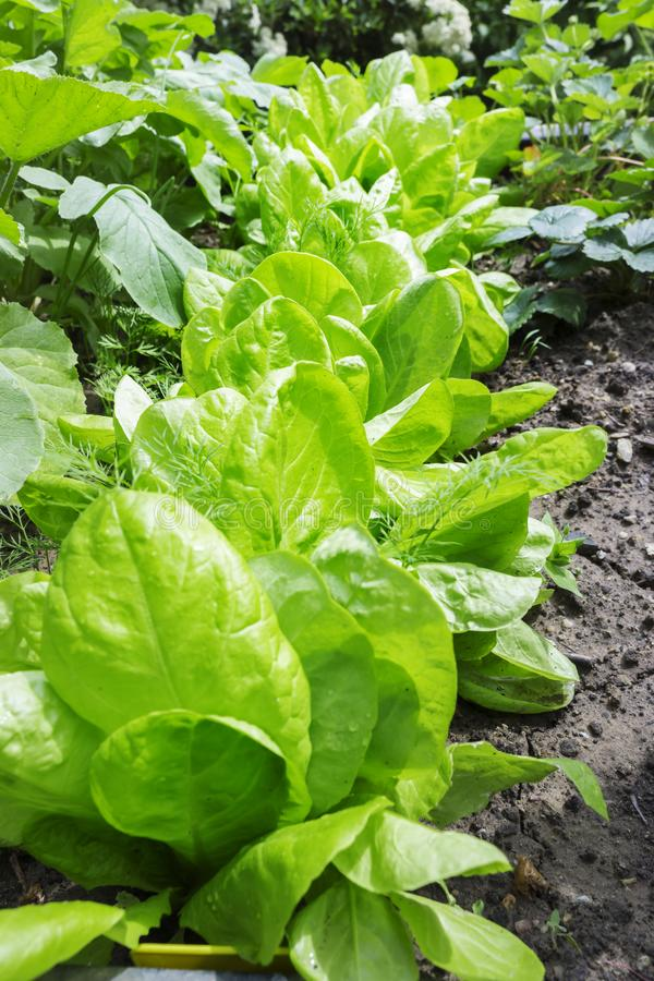 Η σαλάτα αυξάνεται στον κήπο, αυξημένο κρεβάτι στοκ φωτογραφία με δικαίωμα ελεύθερης χρήσης