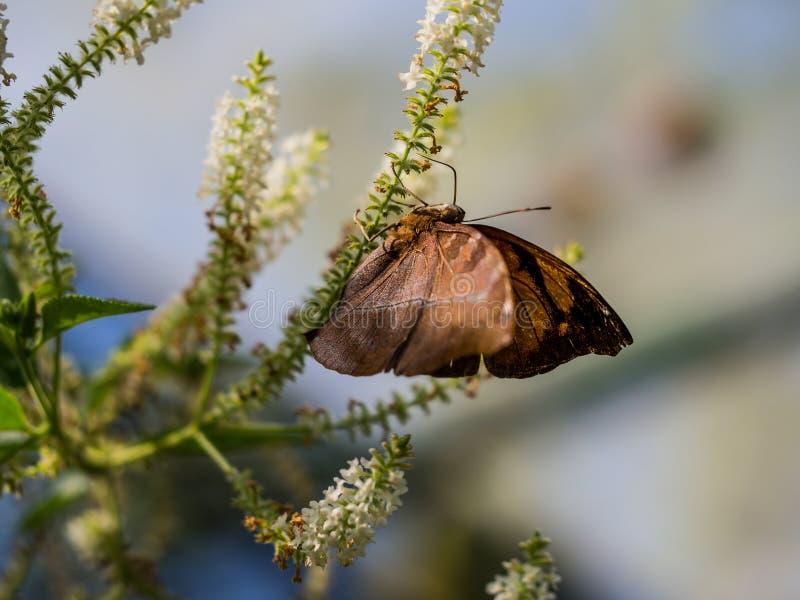 Η σαφής στιγμή της καφετιάς κρεμώντας άνω πλευράς πεταλούδων - κάτω στο W στοκ εικόνες