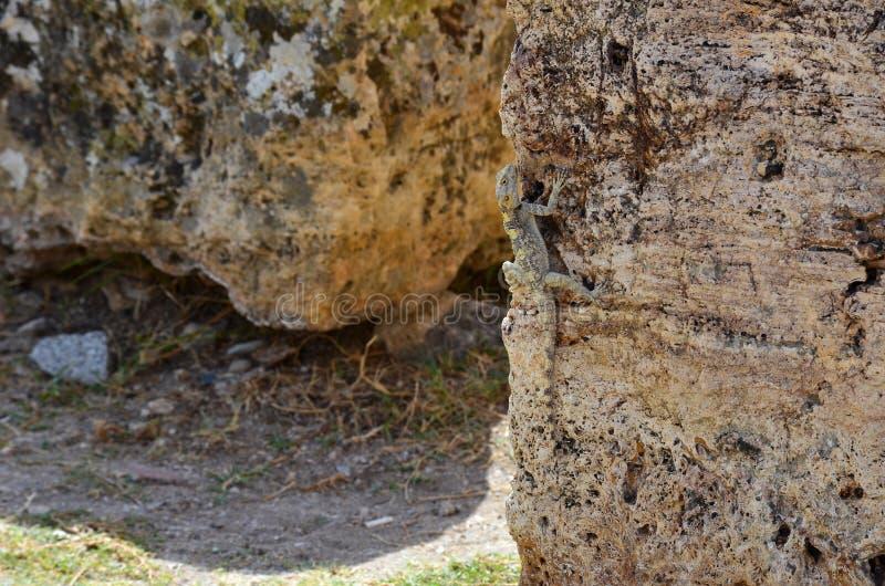 Η σαύρα κάθεται κάθετα στην πέτρα, επιδέξια μεταμφίεση ως καφετιά πέτρα στοκ εικόνα