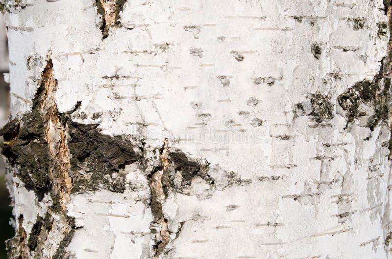 η σημύδα φλοιών απομόνωσε το λευκό κραχτών Δέντρο Ξύλινος φλοιός Ανακουφίσεις του δέντρου Φύση Φυσικές ανακουφίσεις Ξύλινη σύστασ στοκ φωτογραφία με δικαίωμα ελεύθερης χρήσης