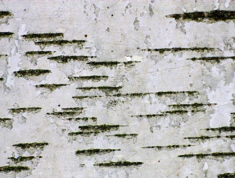 η σημύδα φλοιών απομόνωσε το λευκό στοκ εικόνες