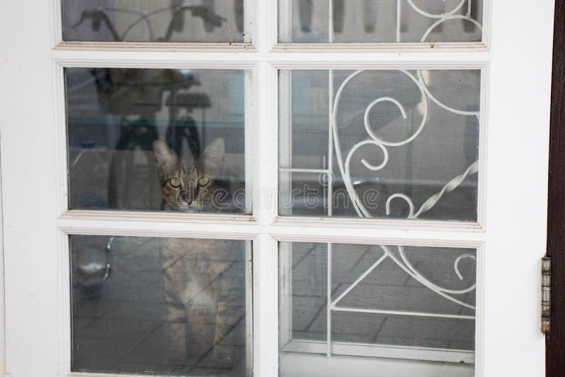 Η σιαμέζα γάτα περιμένει στον ιδιοκτήτη του στοκ φωτογραφία με δικαίωμα ελεύθερης χρήσης