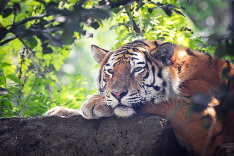 Η σιβηρική τίγρη προκύπτει από το χαμόκλαδο στοκ φωτογραφίες με δικαίωμα ελεύθερης χρήσης