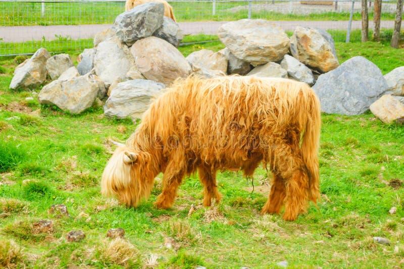 Η σκωτσέζικη αγελάδα τρώει τη χλόη το πάρκο Καρελία στοκ φωτογραφίες
