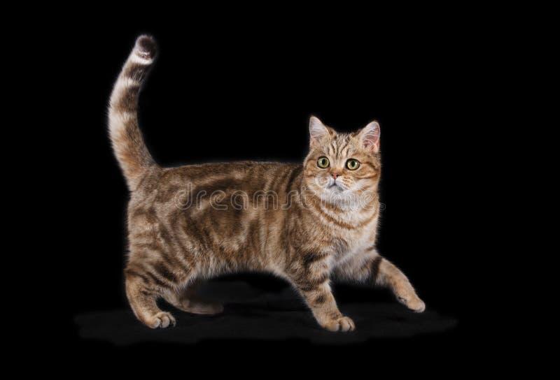 Η σκωτσέζικη ευθεία γάτα με ένα χρώμα παλτών ταρταρουγών είναι στοκ εικόνες με δικαίωμα ελεύθερης χρήσης