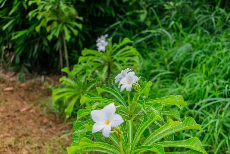 η στενή άποψη δύο άσπρο δέντρο λουλουδιών Plumeria ή frangipani στη βροχερή ημέρα με τα σταγονίδια νερού ανθίζει στοκ φωτογραφία με δικαίωμα ελεύθερης χρήσης
