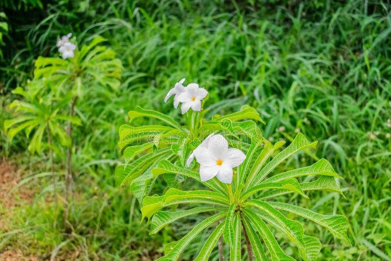 Η στενή άποψη δύο άσπρο δέντρο λουλουδιών Plumeria ή frangipani στη βροχερή ημέρα με τα σταγονίδια νερού ανθίζει & φύλλα με το υπ στοκ εικόνες με δικαίωμα ελεύθερης χρήσης