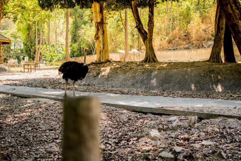 Η στρουθοκάμηλος τρέχει το φυσικό τρέξιμο άγριας φύσης στοκ εικόνες