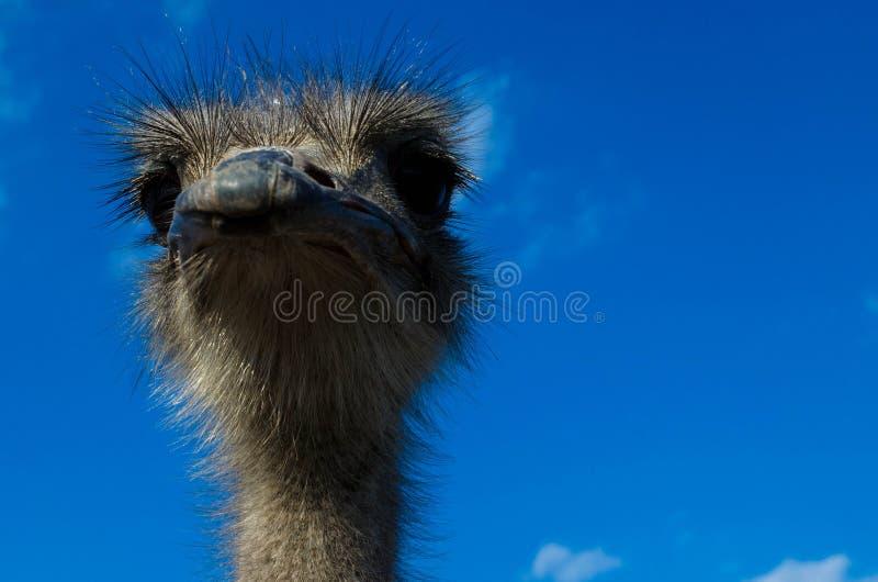 Η στρουθοκάμηλος στρουθοκαμήλων head στοκ εικόνα με δικαίωμα ελεύθερης χρήσης