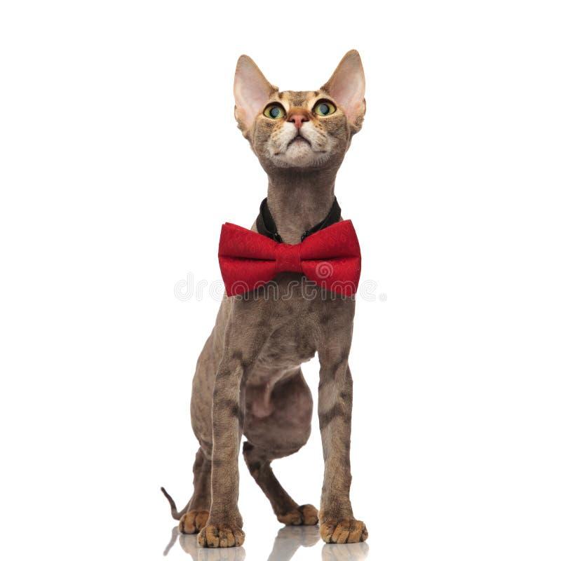 Η συγκλονισμένη γάτα metis με το κόκκινο bowtie ανατρέχει στοκ φωτογραφία με δικαίωμα ελεύθερης χρήσης