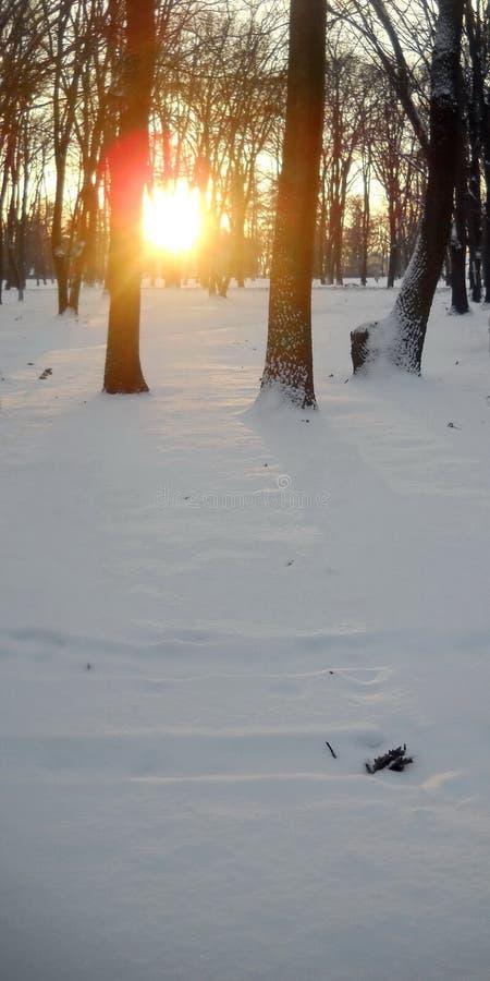 Η συγκομιδή από το χειμερινό ηλιοβασίλεμα στο δάσος και την αντανάκλαση του φωτός πέρα από το χιόνι και τη βαλανιδιά φεύγει στοκ εικόνα