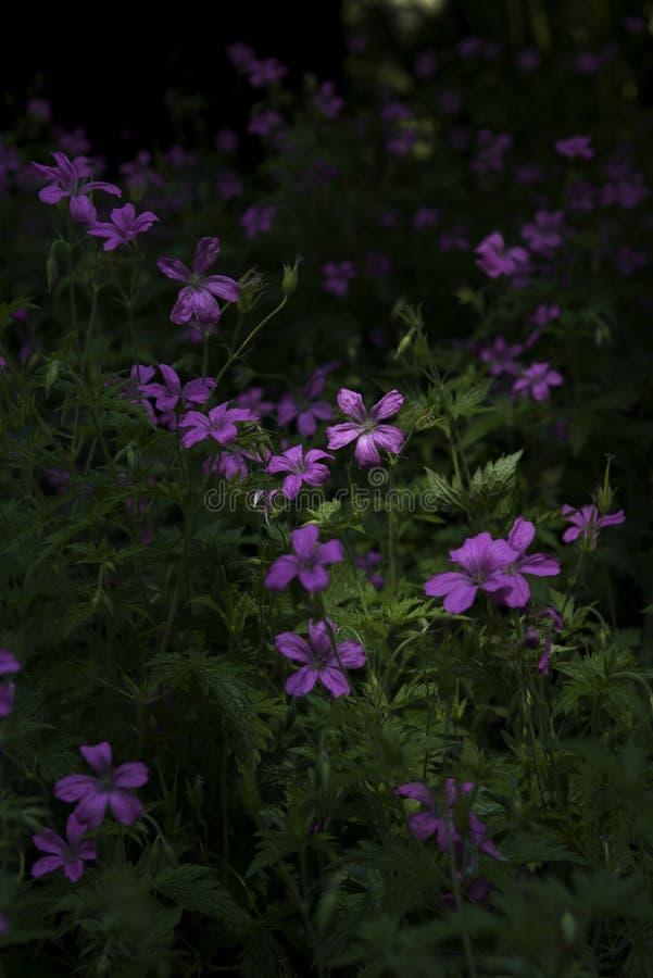 Η συλλογή των πορφυρών λουλουδιών στοκ εικόνες