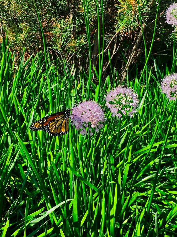 Η συνεδρίαση πεταλούδων μοναρχών στην πλευρά του φρέσκου κρεμμυδιού ανθίζει ανθίζοντας κατά μήκος του Σικάγου riverwalk κεντρικός στοκ φωτογραφία