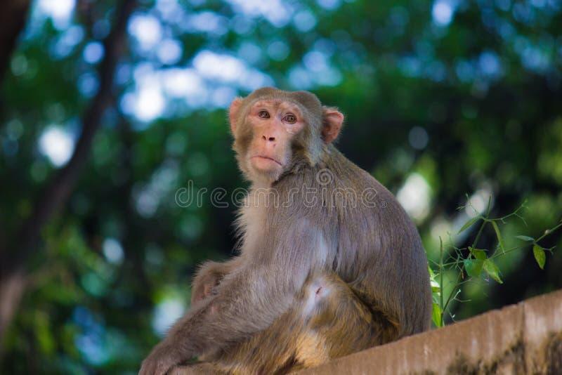 Η συνεδρίαση πιθήκων Macaque του ρήσου μακάκου στον τοίχο και κοίταγμα μακριά στοκ φωτογραφία με δικαίωμα ελεύθερης χρήσης