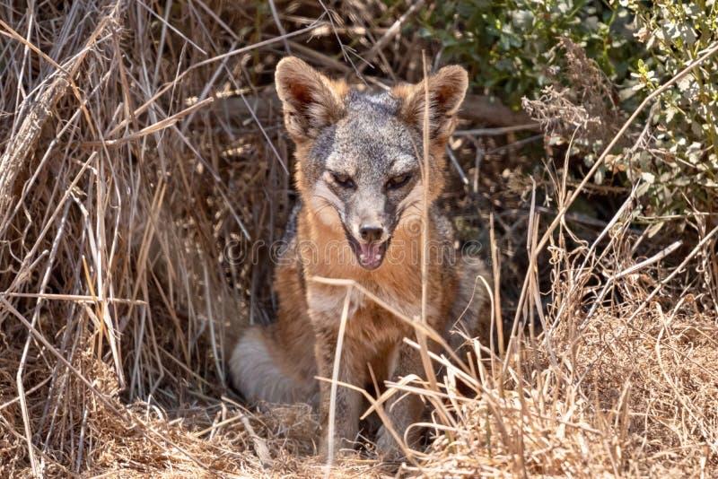 Η συνεδρίαση της Catalina Island Fox αυτό είναι κρησφύγετο στοκ εικόνα με δικαίωμα ελεύθερης χρήσης